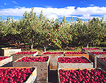 Washington State Rome Apple Harvest
