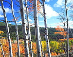 Autumn view of aspen trees in Idaho