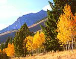 Aspen trees & Boulder Mountains, Idaho
