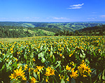 Mule's Ears blooms (Wyethia) in Oregon's Blue Mountains