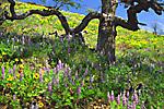 Wildflowers blooming beneath an old oak tree