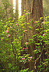 Rhododendron blooms & Redwood Trees