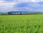 Wheat crop and farms on the Camas Prairie near Grangeville, Idaho