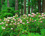 Rhododendrons bloom in Oregon's Cascade Range