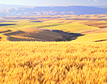 Wheat crop and rolling hills in Sherman County, Oregon
