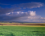 Pea crop & Blue Mountains in Umatilla County, Oregon