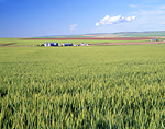 Wheat crop & ranch near Athena, Oregon