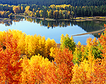Aspen Trees in vivid fall color along the Snake River, Grand Teton National Park, Wyoming