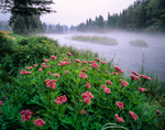 Joe-pye-weed and Connecticut River foggy am