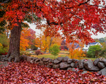 Red Maple Tree / Stonewall / Fall / Country Home