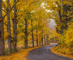 Sugar Maples trees in fall along New England country road