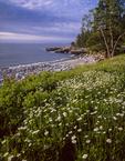 Daisies and rocky shore line Schoodic Peninsula, Acadia National Park