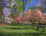 Dogwoods trees in bloom on village green with Congregational church, 1726.