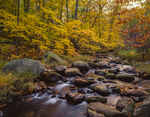 Willard Brook in fall with witch hazel along stream bank
