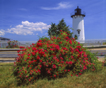 East Chop Lighthouse and roses