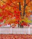 Sugar Maple tree in fall with white picket fence  and leaves covering ground