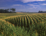 Rolling hills of corn rows in Champlain Valley farmland
