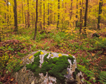 Moss covered Marble erratic boulder in forest of yellow maples, Green Mtn National Forest