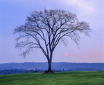Lone Elm tree in field with setting sun