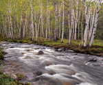 Birch trees in spring along Bear River, Grafton Notch State Park