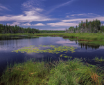 Pond with bullhead lilies lined with spruce trees and grasses