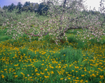 Apple tree in blossom and dandelions.
