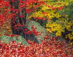 Red maple tree, fallen autumn leaves, split rock.