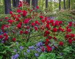 Rhododendron and Spanish Bells in wooded garden, Winterthur Gardens.