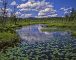 Bullhead lilies in fresh water marsh with cedar and tamarack trees and view to West Mtn Adirondack Park.