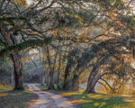 Lane and live oak trees, with sunrays.