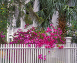 Azaleas and white picket fence, Historic Andebellum home.