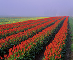 Red tulip rows in fog, Tulip Town-Scagit Valley Bulb Farm.