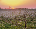 Sunrise over apple orchard in bloom with dandelion puffballs.
