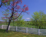 Redbud tree and white fence with cows in pasture in spring.  Belle Grove Plantation.