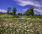 Wildflowers, Queene Anne's Lace and Middlebury River on sunny summer day