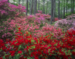 Red and pink azaleas in pine forest Callaway gardens