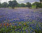 Field of bluebonnets with oak trees