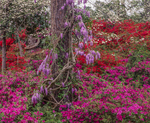 Wisteria wrapped around pine tree trunk surrounded by azaleas and dogwood blossoms