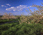 Apple trees in blossom, peak of distant mountain ridgelines, Gould Hill Orchard, Hopkinton NH