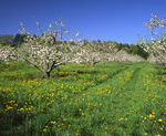Apple orchard in bloom in spring, with dandelions & tire tracks, Londonderry NH
