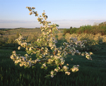 Apple tree in bloom in spring, with early am light & orchard on hillside, Hollis NH