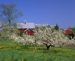 Apple orchard in bloom in spring, with dandelions & two red barns, Londonderry NH