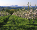 Rows of apple trees in bloom line orchard road in grass, distant mountain ridgelines, Gould Hill Orchard, Hopkinton NH