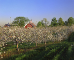 Apple trees in bloom in spring, with view to two red barns, Hollis NH