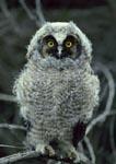 Juvenile long-eared owl