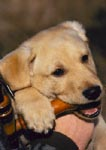 Yellow Labrador retriever puppy 12 weeks old chewing on duck call
