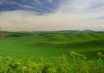 Pea/lentil fields in the Palouse Hills