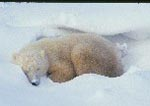 Polar bear napping in snowdrift