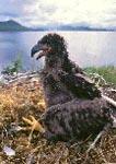 Juvenile bald eagle in nest