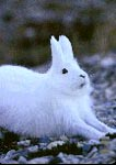 Arctic hare stretching